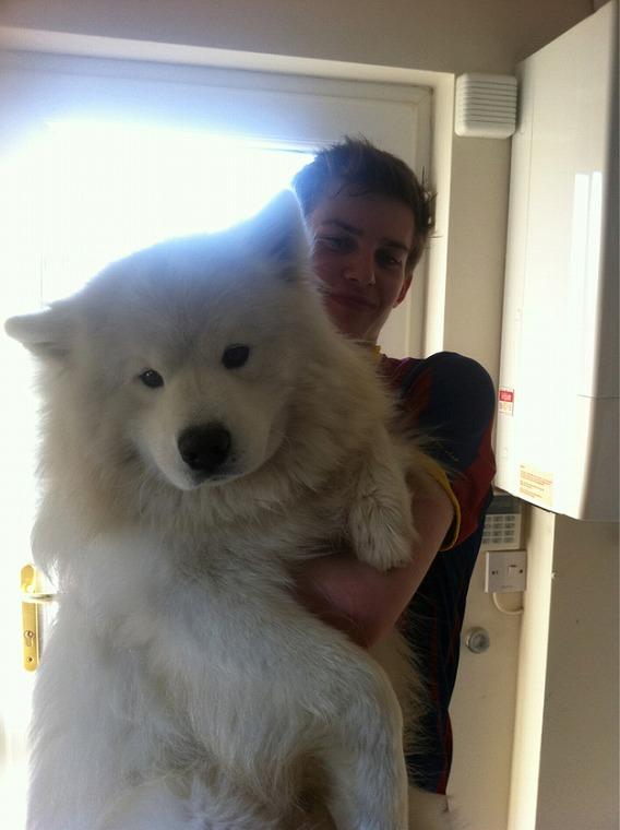 Image result for 犬 samoyed 可愛らしい