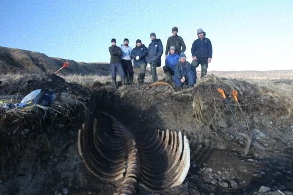 絶滅した巨大海棲哺乳類、ステラーカイギュウの骨格が発掘される(ロシア)