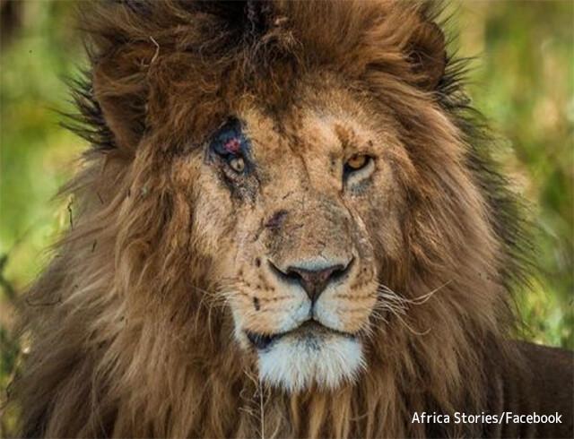 【RIP】世界で最も有名なライオン「スカーフェイス」が14歳で天命を全うする(ケニア)