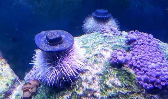 ウニは帽子が良く似合う件
