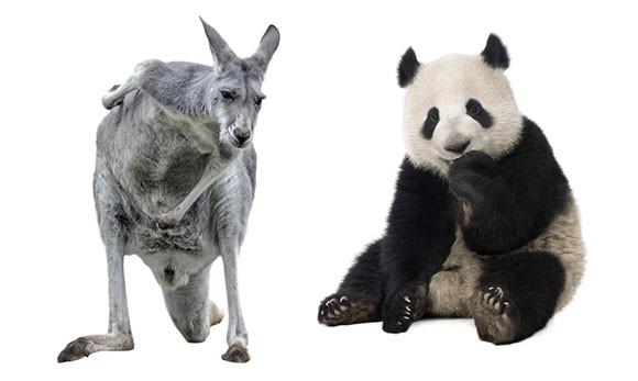 先史時代を生きた巨大カンガルーとジャイアントパンダにはユニークな共通点があった