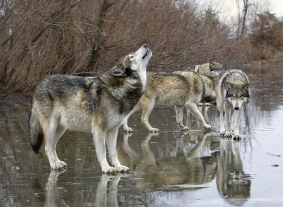 歴史上有名な10匹のオオカミと人...
