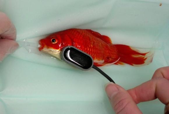 魚だって救いたい。実際に行われた飼育されている魚に対する7つの手術