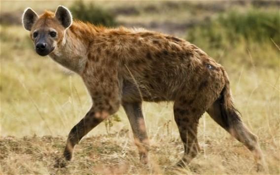 Hyenas_2332980b_e