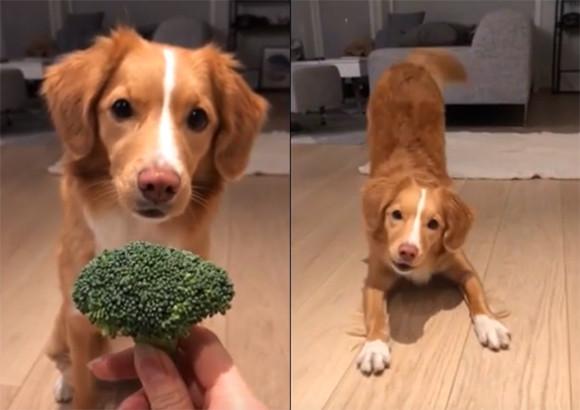 ブロッコリーが好きすぎる犬。ブロッコリー欲しさに持ちネタすべてを発動する