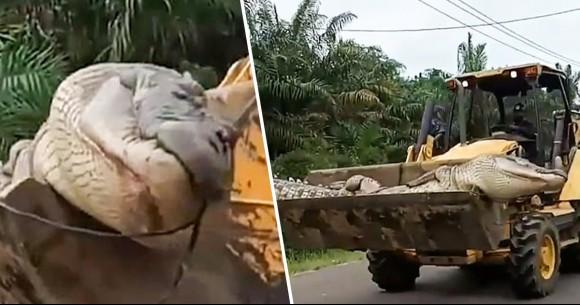 地元民を恐怖に陥れていた「悪魔の巨大ワニ」をついに捕獲、特別な儀式で埋葬される(インドネシア)