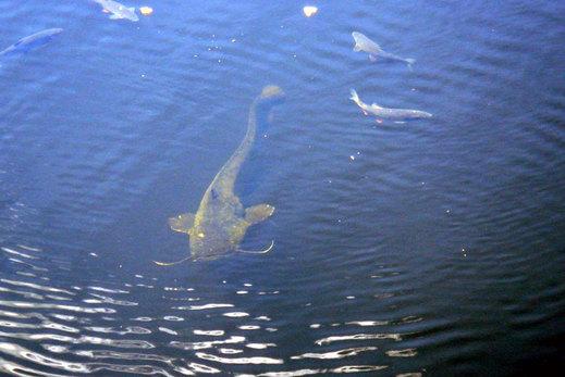 チェルノブイリの川で全長3~4メートルの巨大魚 ... Human Animal Mutations