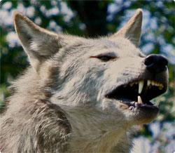 ニホンオオカミの画像 p1_5