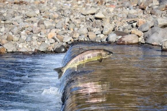 母なる川に戻るサケ