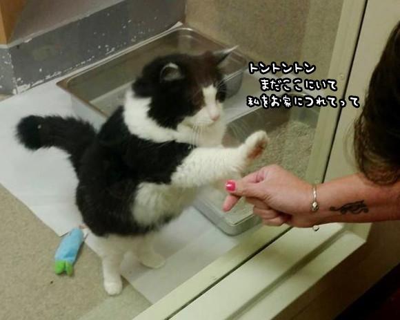 「トントントン、私をお家にどうでしょう」シェルターに引き取られた13歳の猫、おねだりポーズが決め手となり新たなる家族の元へ(アメリカ)