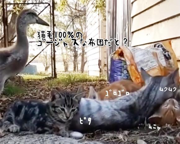 猫団子にはどうしても加わりたかった鳥。「ちょっと入りますよ」で中央を陣取る