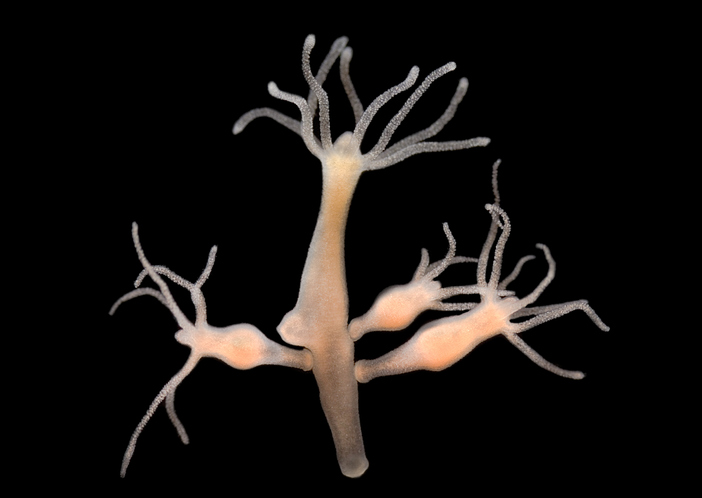 驚異の再生能力を持つ水中生物、ヒドラ