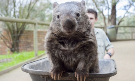 how to buy a wombat