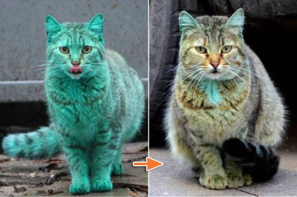 ほとんど元に戻ったよ。世界的に有名となった緑色の猫、動物愛好家の手によって無事捕獲、洗浄作業が行われる。