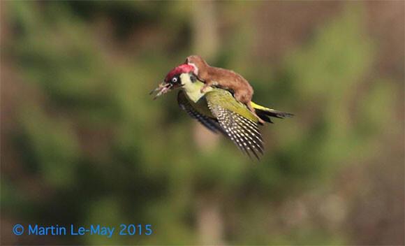 イタチが鳥に乗って空を飛んでいるだと?そんなおとぎ話の世界が本当にあった(イギリス)