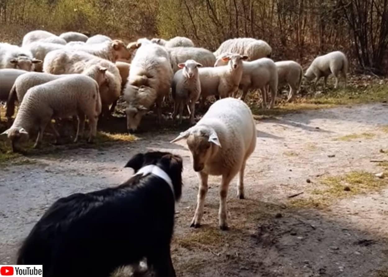 牧羊犬に挑む羊