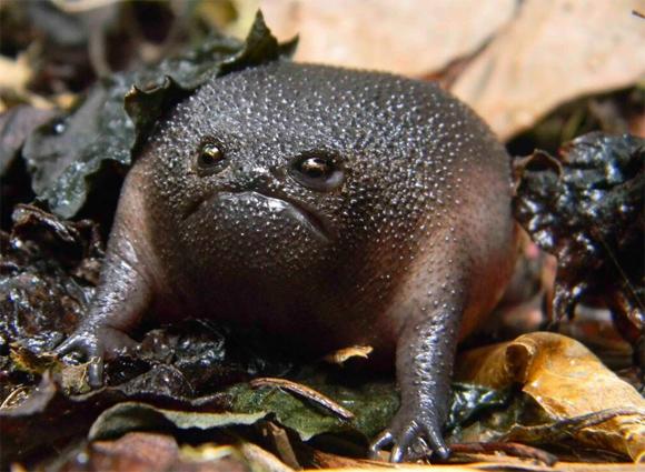 オコ?オコなの?世界一不機嫌そうに見えるカエル「ブラックレインフロッグ」