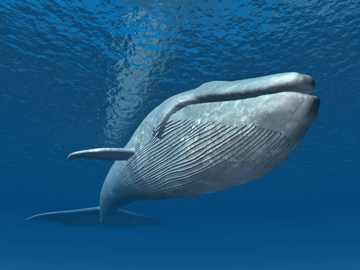 巨大なシロナガスクジラのお尻の穴のサイズはどれくらい?
