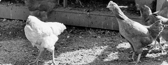 頭がなくても18か月間生存していた奇跡のニワトリ「首なし鶏マイク」