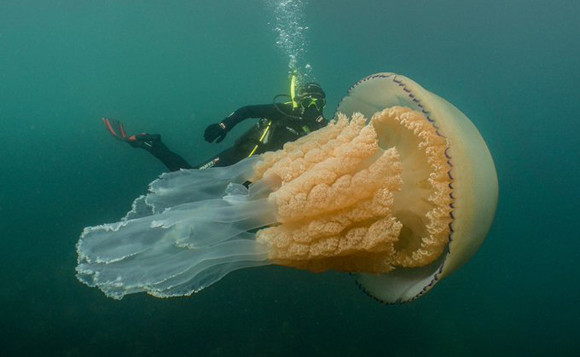 これは貴重体験!巨大クラゲに遭遇!一緒にランデブーしたダイバー(イギリス)