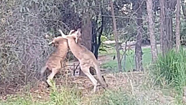 「おまえら、ケンカならよそでやれ!」うちの庭でカンガルーがガチバトルってたので止めてみた