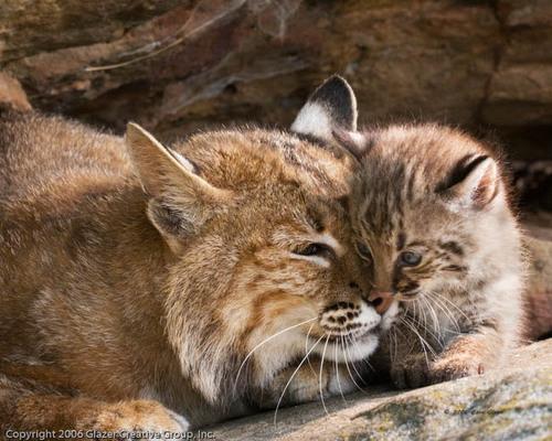 Bobcat_Mother_and_Kitten_1