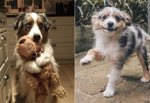 犬かわいさの集大成。オーストラリアン・シェパードの魅力的仕草にズームイン!