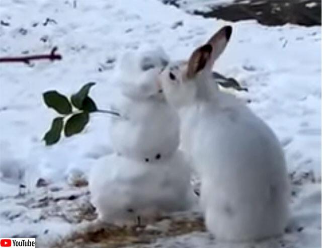 ウサギが雪だるまにキス?いいえ、食べてるだけです
