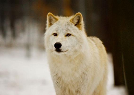 wolf_23