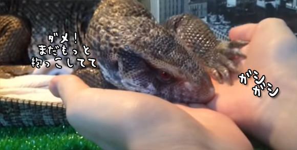 爬虫類だって抱かれたい。飼い主が手を放そうとすると「ダメ!まだいかないで」を仕草で表すトカゲ