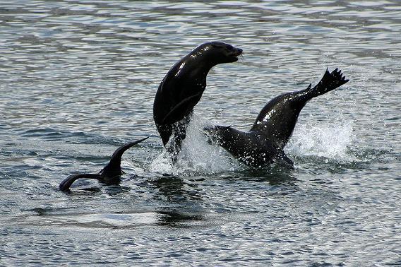 synchronized swimming animals 3