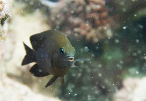 エビを飼育し藻類を養殖する魚の存在