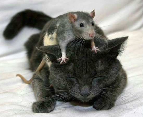 cat_rat_picdump_1-s646x527-167079-580