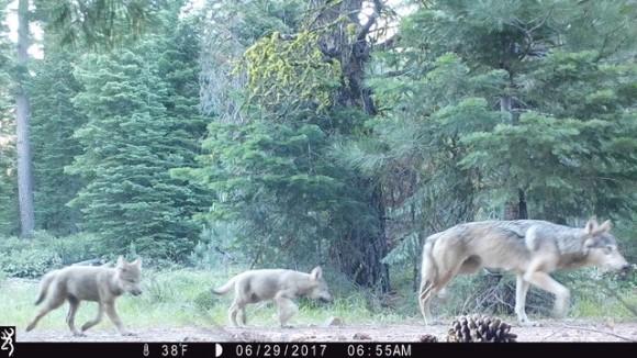 絶滅危惧種のオオカミがあらわれた!「ハイイロオオカミ」が繁殖し、家族で行動している姿が確認される(アメリカ)