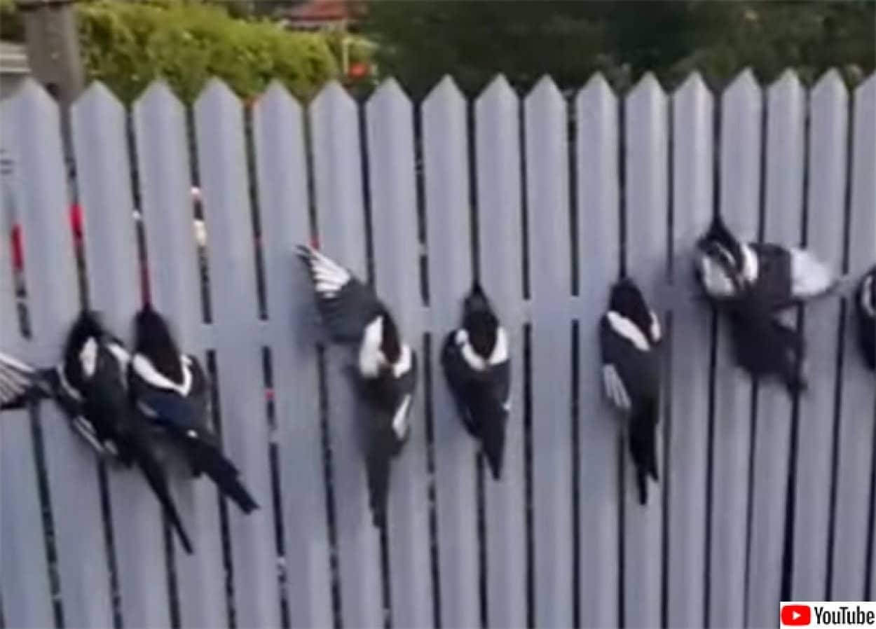 カササギたちが挟まる地獄のフェンス