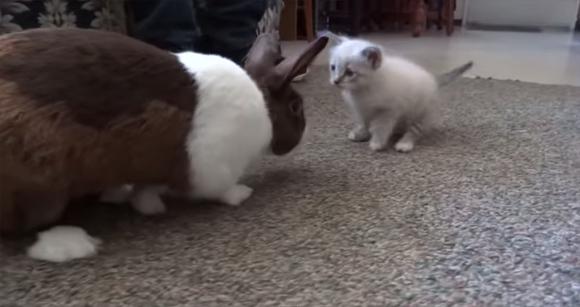 友だちになれるかな?子猫とウサギの微妙な距離感を観察するの会