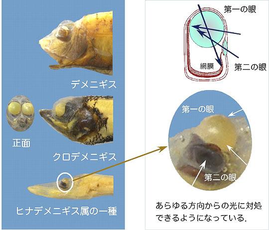 opisthoproctid