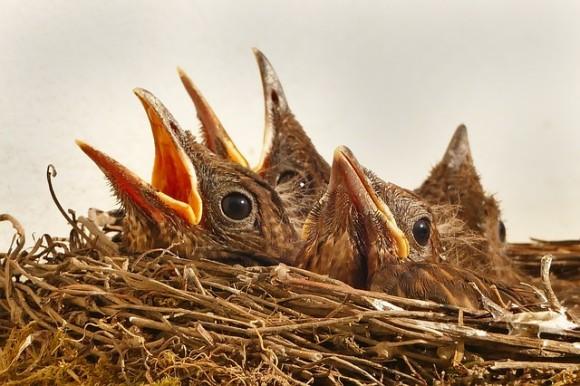 乗客はたった1羽のヒナ。巣から落ちた野鳥が、自動車配車サービス「ウーバー(Uber)」でレスキューセンターまで運ばれる(アメリカ)