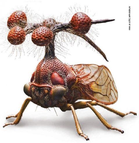 bocydium-globulare-leafhopper