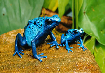 a96745_poison-dart-frog2