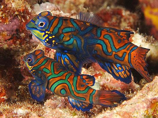 Mandarinfish2