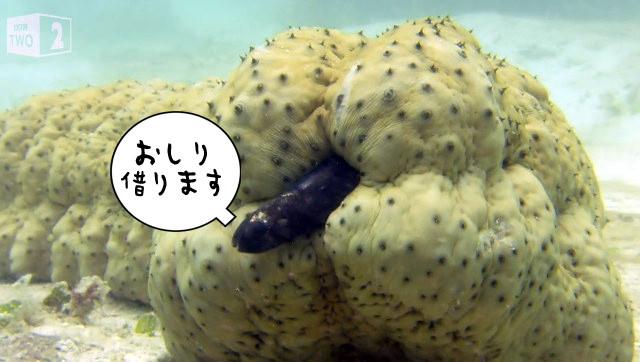 絵面がヤバい系。ナマコのお尻の穴に住みつき出入りするカクレウオの映像