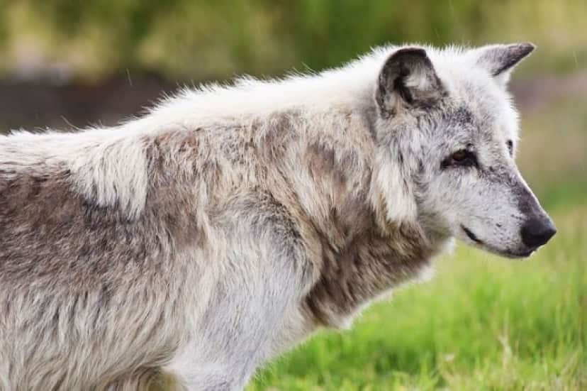 canadian-timber-wolf-1505591_640_e