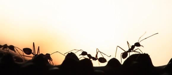 アカカミアリが共食いする理由。新しい土地への侵略を有利にする戦略だった(オーストラリア研究)※アリ出演中