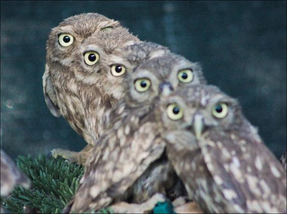 baby-owls-01