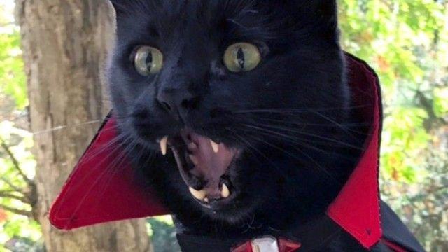 ヴァンパイア猫再び?キバちらかわいい黒猫のモンクさん、今年はマントを羽織ってハロウィンに参加