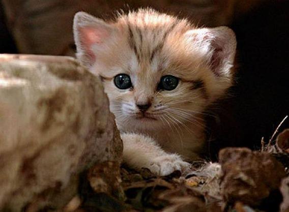 sand_cat_kitten_05