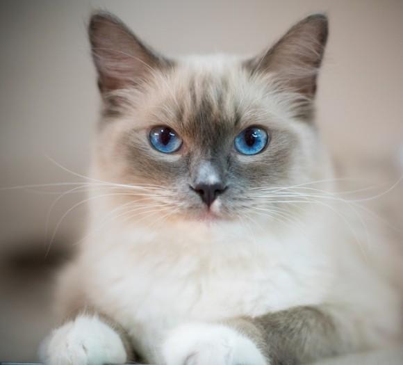 blue-eyes-cat-2602085_640_e