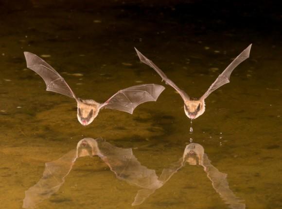 吸血コウモリの友情は固い。実験室で芽生えた友情が野生に戻った後も継続されていたことが判明(米研究)