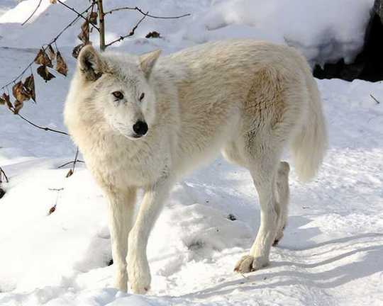 Snow-White-Arctic-wolf-